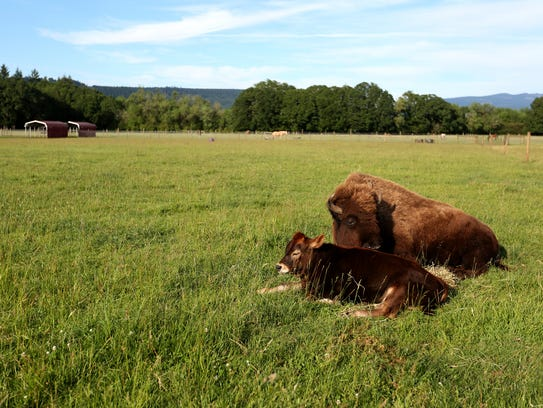 Helen, a blind bison, and Oliver, a calf born in February,