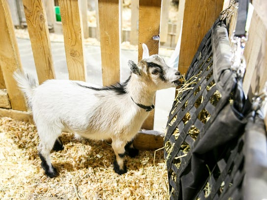 Pygmy goat Pearl at the Oregon State Fair on Sunday,