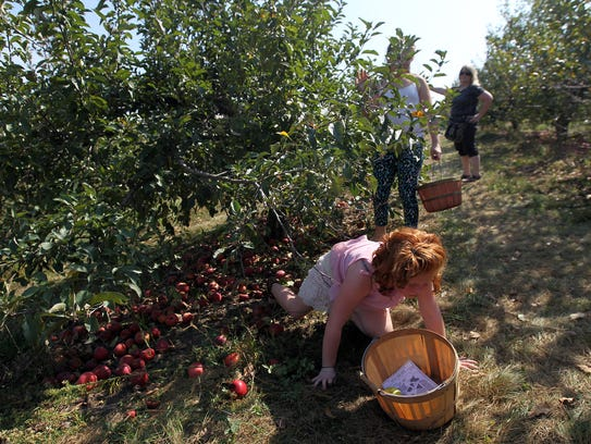 Averi Lynas, 8, checks for apples at Wilson's Orchard