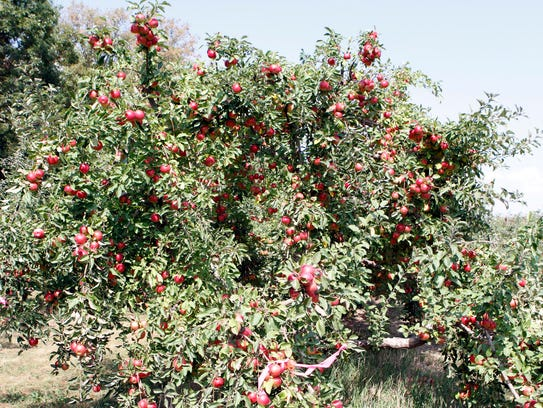 A tree of Ida Red apples waits for picking at the Elegant
