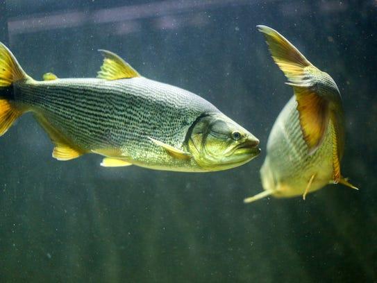 Dorado fish at the Belle Isle Aquarium seen during