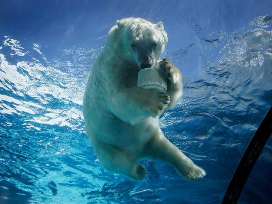 A polar bear at the Detroit Zoo in Royal Oak enjoys