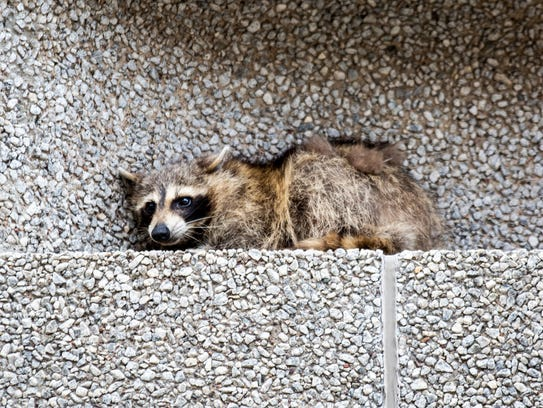 A raccoon sits on a ledge on the Town Square building