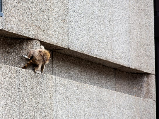 A raccoon scrambles along a ledge on the side of the