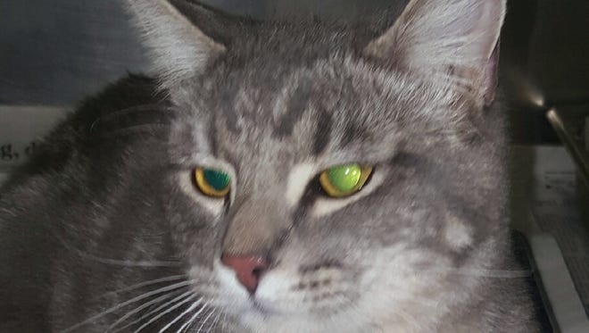 This 2-year-old male gray tabby domestic short haired cat is neutered. He was found in the 1800 block of 12th Street. His adoption fee is $33.55 plus tax. For more information about adopting a Pet of the Week or other furry friends visit Alamogordo Animal Control, 2910 N. Florida Ave., Monday through Saturday between noon and 5 p.m. or contact them at 439-4330.