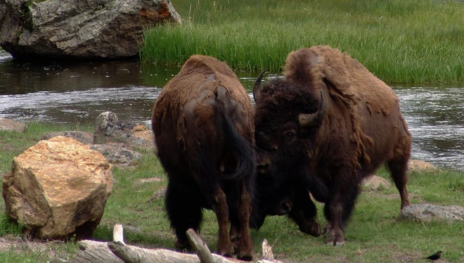 Two bison butt heads along the Madison River in Yellowstone National Park.
