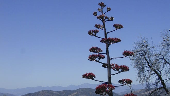 A century plant stands along the Hellsgate Trail, about 10 miles east of Payson.