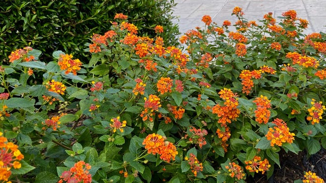 Lantanas are among the heat-tolerant plants that can thrive in West Texas.