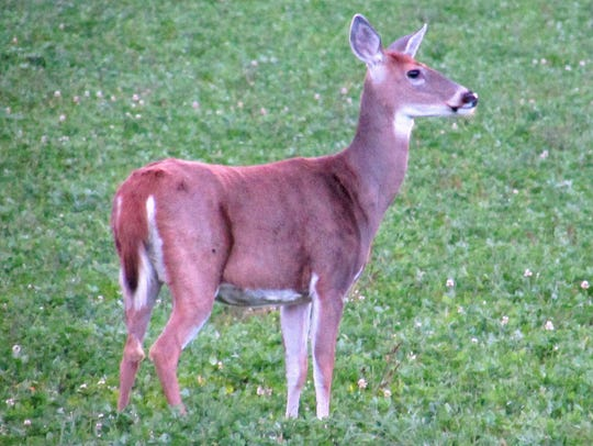 A white-tailed deer stands in a field at dusk near
