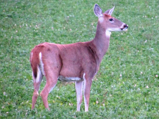 A white-tailed deer stands in a field at dusk near Lowman in Chemung County.