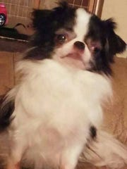 Kiaya, a Japanese Chin-Chihuahua mix, died in a house fire Thursday.