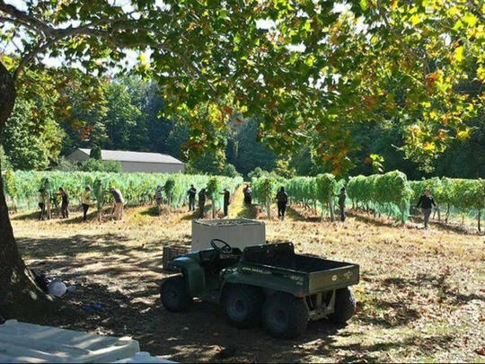 The grapes are harvested at Palaia Winery.