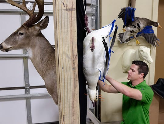 Mathew Courville works on a goose at his  taxidermy