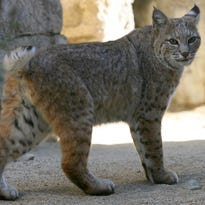 A bobcat is seen at Joshua Tree National Park. The state will consider a partial ban on bobcat trapping near state and national parks.