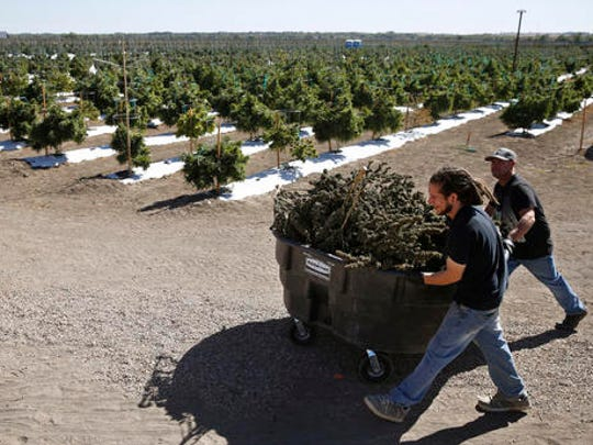 FILE - In this Oct. 4, 2016, file photo, farmworkers transport newly-harvested marijuana plants, at Los Suenos Farms, America's largest legal open air marijuana farm, in Avondale, southern Colorado. Denver voters approved Proposition 300 as eight other states legalized marijuana for medical or recreational purposes last week. The Denver vote was so close that it took an entire week for supporters to claim victory and opponents to concede.