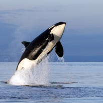 New Washington directive aims to help endangered orcas