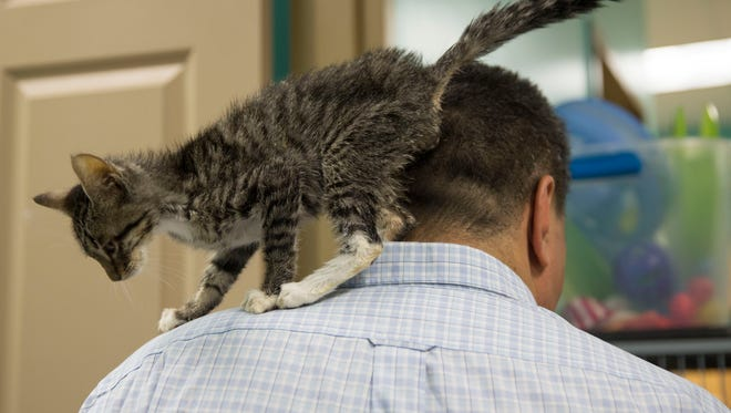 A cat brushes up against the shoulders of Dominick Russo during a visit at the Naples Cat Alliance on Wednesday, June 27, 2018.
