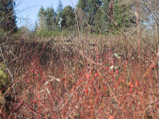 The proposed site for a new waterfront park in West Poulsbo is currently a tangled mess of vines and scrub bushes.