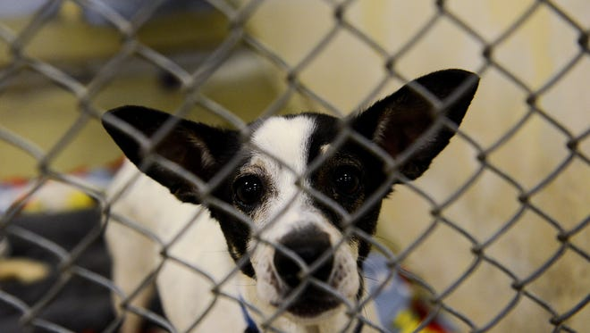 Two-and-a-half year old Tuppy waits for a treat at the Capital Area Humane Society Monday, Oct. 9, 2016 in Lansing. Work continues on Phase 1 of the expansion at the shelter which will add on 5,800 square feet to the facility and give the shelter a dedicated animal intake area, among other things. The $2 million project was funded by donations and is on schedule to be completed in February. Phase 2 will begin after the CAHS conducts another round of fundraising in 2018.