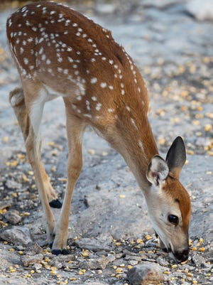 A fawn eats its breakfast of corn on a ranch near Christoval.