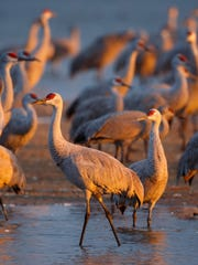 Thousands of Sandhill Cranes start their day in the