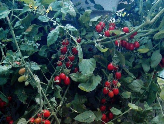 Red grape tomatoes grow in Celia Casey's garden in