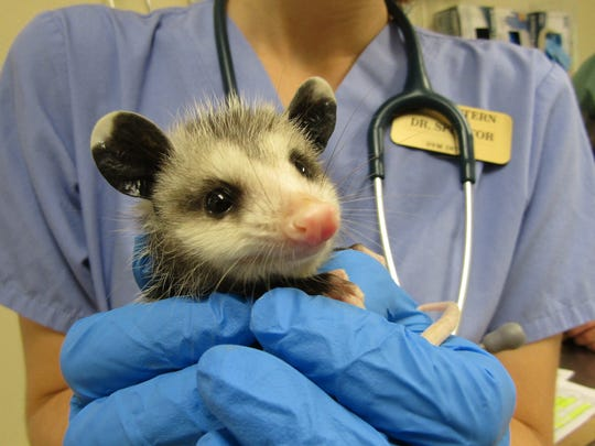 Virginia opossums are North America's only marsupial