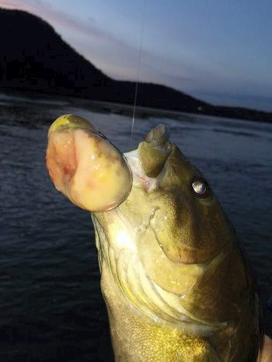 This smallmouth bass, taken from the Susquehanna River, was found to have a cancerous tumor.