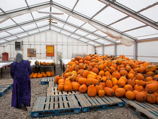 Women sort and clean a massive load of pumpkins to take to market from the Riverview Colony.