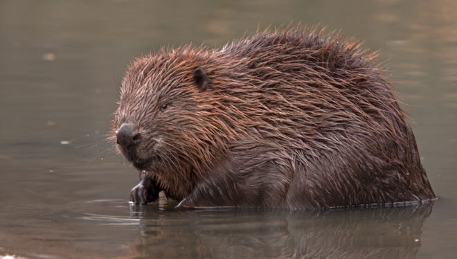 A stock photo of a beaver.