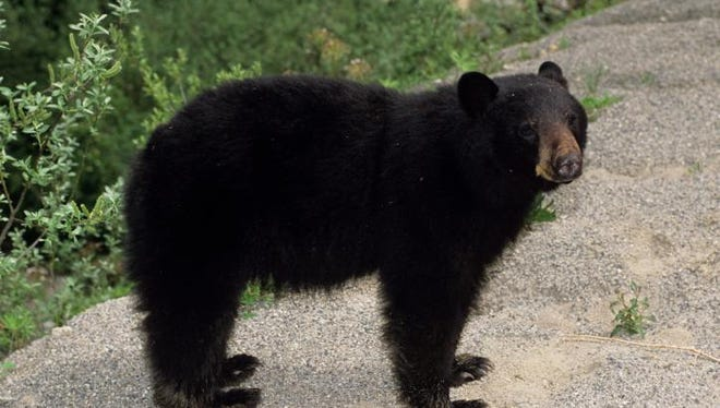 A black bear was spotted wandering in Clinton Town on Friday morning just south of I-78.