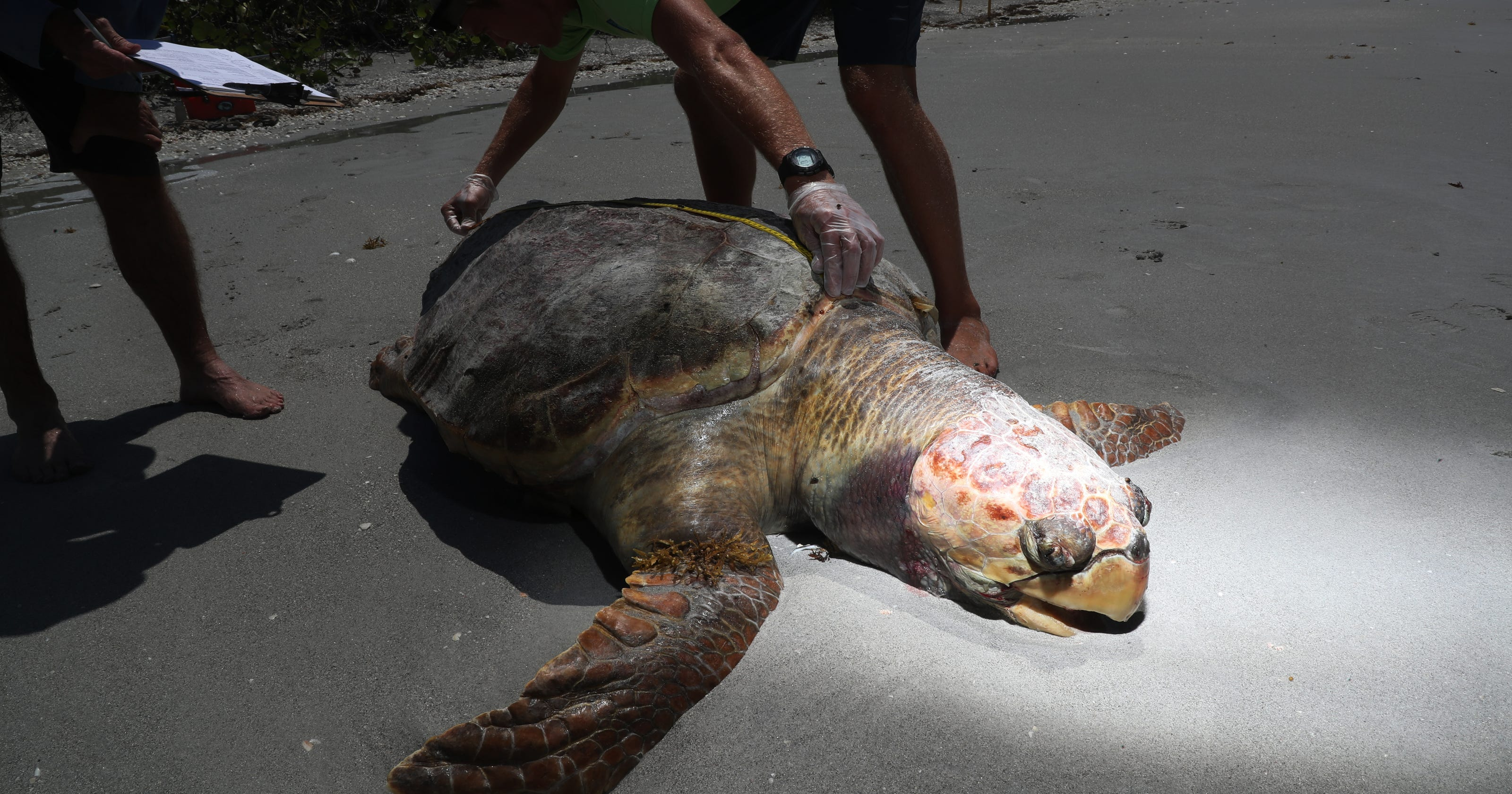 sea turtles are dying in fort myers naples sarasota
