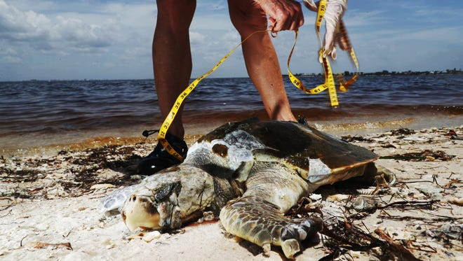 A dead Kemp's ridley sea turtle is documented and picked up by a Sanibel Captiva Conservation Foundation stranding volunteer on the Sanibel Causeway on Thursday, Aug. 2, 2018. A suspected red tide outbreak is ravaging parts of Southwest Florida.