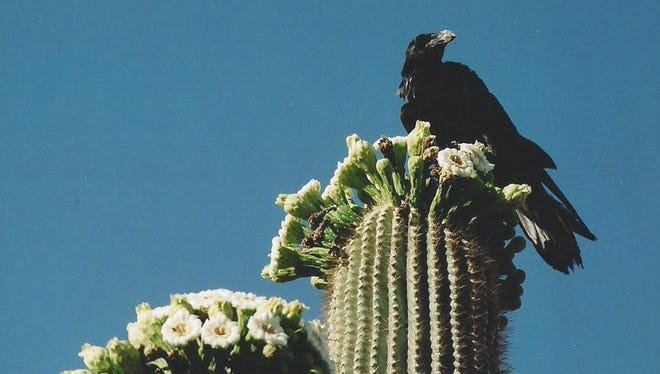 Bell Dellinges raved about this raven enjoying saguaro flowers for breakfast in his front yard in Apache Junction.