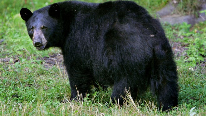 A black bear is seen in Lyme, New Hampshire in Aug. 2007.