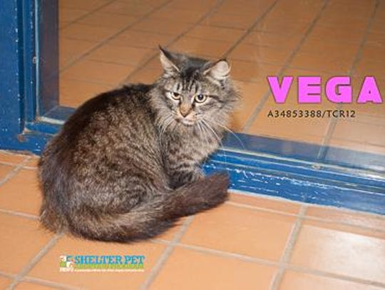 Vega, another very long stay at the shelter, needs