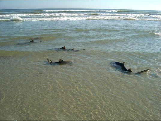 Melbourne Beach Weighs Shark Fishing Chumming Ban