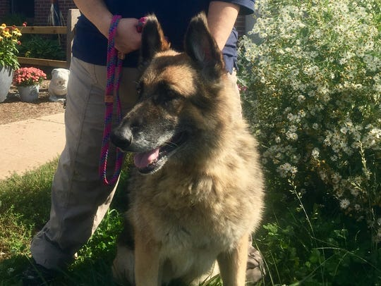 Glory, a 10-year-old German shepherd, is available
