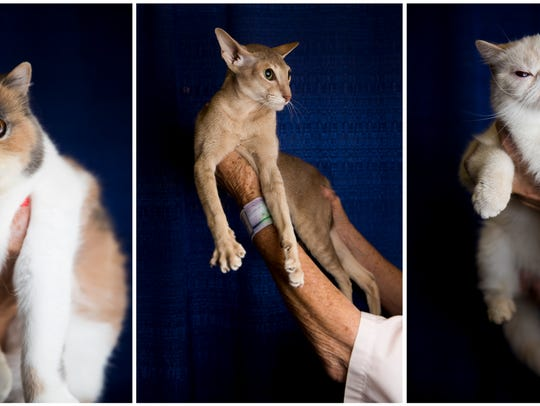 Cats from the Platinum Coast Cast Fanciers Cat Show pose for portraits in 2017: (From left) Patches, an exotic shorthair; Bambi Dear, an Oriental shorthair; and Sweet Dreams, an Exotic shorthair Himalayan.