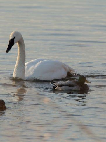 Group of Trumpeter Swans take a refuge at Riverland