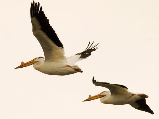 MAN n Pelicans Mtc 02.jpg