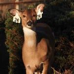 Will deer sterilization thin a local herd?