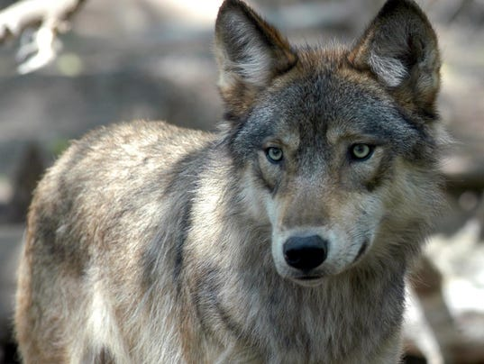 635500184374403521-Gray-Wolf-Endangered-NY121