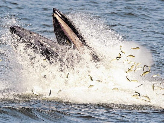 Humpback whale breaching off Jersey Shore