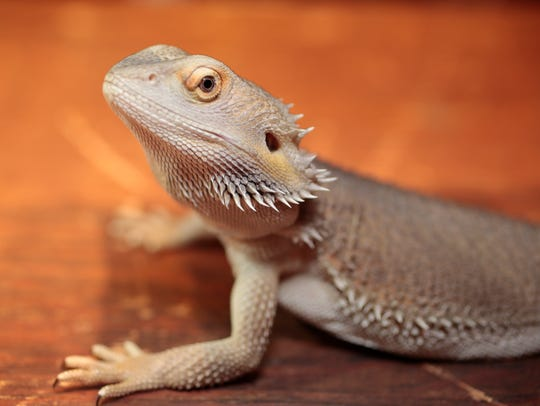 A Bearded Dragon that was for sale at the New York