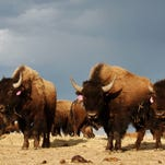 A herd of bison relaxes at the Fort Peck Reservation near Poplar, Mont., in April 2012. A pilot bison relocation program in Montana has struggled to overcome opposition from area ranchers.