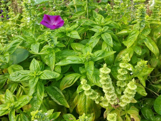 Basil with a purple ipomea poking through the plants.
