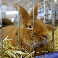 Mystery as world's-biggest-rabbit contender dies on United Airlines flight to O'Hare