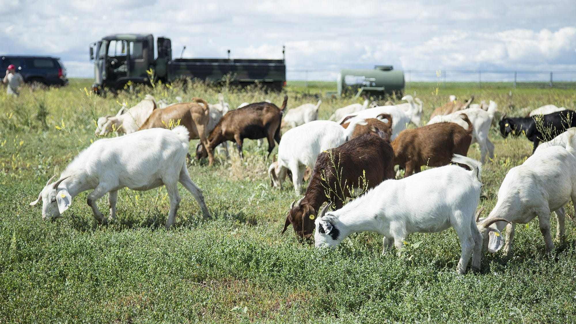 Malmstrom Air Force Base Testing Goats