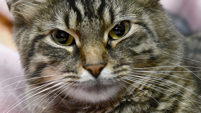 Katy P., the long-haired tabby injured by a firecracker, is improving and now living at the Richland County Humane Society.